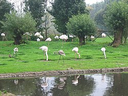 Flamingoes at Martin Mere.JPG