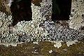 Flavoparmelia caperata 103164365.jpg
