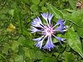 Fleur de bleuet.JPG