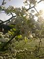 Fleurs de poirier à Grez-Doiceau 005.jpg