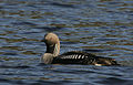 Flickr - Rainbirder - Black-throated Diver (Gavia arctica) swimming.jpg