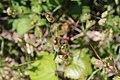 Flora della Sardegna 112 (04).jpg