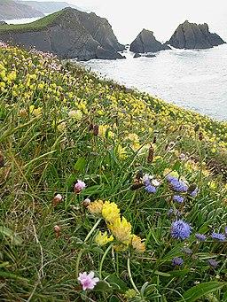 Floral clifftop, Hartland Quay - geograph.org.uk - 1319047