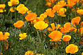 Flower, California poppy - Flickr - nekonomania (1).jpg