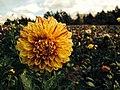 Flower (14936124404).jpg