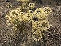 Flowers of Lycoris radiata 20170924.jpg