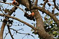 Flowers of a tree in Dinajpur 01.jpg