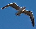 Flying Gull (7793040172).jpg