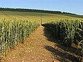Footpath cutting through the Wheat Field - geograph.org.uk - 25992.jpg