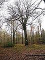 Forêt de Crécy, Somme, Le Vénérable, hêtre.JPG