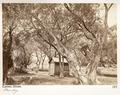 Fotografi från Cannes på olivträd - Hallwylska museet - 107221.tif