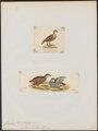 Francolinus subtorquatus - 1700-1880 - Print - Iconographia Zoologica - Special Collections University of Amsterdam - UBA01 IZ17100033.tif