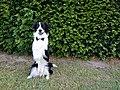 """Frankie the Border Collie (aka """"Border Collie Frankie"""").jpg"""