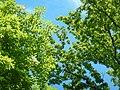 Frassino e cerro in Primavera.jpg