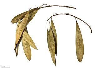 Fraxinus angustifolia - Fraxinus angustifolia - MHNT