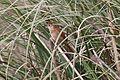 Freckle-breasted Thornbird (Phacellodomus striaticollis) (15773002338).jpg