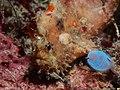 Freckled Frogfish (Antennatus coccineus) (23806601234).jpg