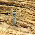 Freshly Eclosed Dolichopodid - Flickr - treegrow (4).jpg