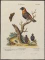 Fringilla carolinensis - 1700-1880 - Print - Iconographia Zoologica - Special Collections University of Amsterdam - UBA01 IZ15900079.tif