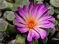 Frithia pulchra-IMG 8267.JPG