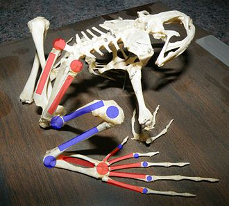Jumping - A bullfrog skeleton, showing elongate limb bones and extra joints.  Red marks indicate bones substantially elongated in frogs, and joints that have become mobile.  Blue indicates joints and bones that have not been modified, or are only somewhat elongated.