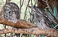 Frogmouths at Waterways Wildlife Park-1+ (2154429658).jpg