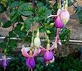 Fuchsia6.JPG