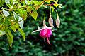 Fuchsia 'Jessie Pearson' 01.jpg