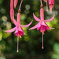 Fuchsia 'Theo Jeukens'.jpg