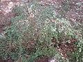 Fuchsia microphylla 1c.JPG