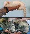 Furets albinos et putoise.jpg