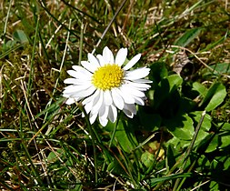 Gänseblümchen auf der Wiese 17-04-2010 (3).jpg