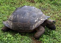 A tortoise of the porteri subspecies. It has a rounded shell shaped like a dome.