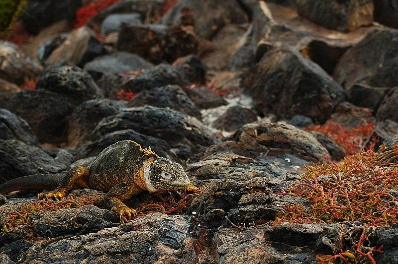 Galapagos iguana: Conolophus subcristatus. Image courtesy Peter Wilton via Wikimedia Commons.