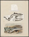 Galeus canis - 1700-1880 - Print - Iconographia Zoologica - Special Collections University of Amsterdam - UBA01 IZ14100043.tif