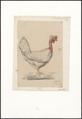 Gallus gallus domesticus - 1881 - Print - Iconographia Zoologica - Special Collections University of Amsterdam - UBA01 IZA1000120.tif