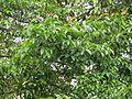 Garcinia mangostana (Mangosteen) leaves in RDA, Bogra 01.jpg