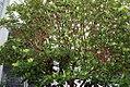 Gardenia jasminoides 6zz.jpg