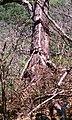Garrobo tomando el sol en Bosque el imposibel - panoramio.jpg