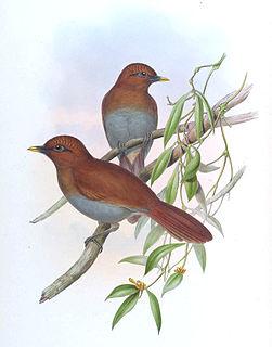 Rusty laughingthrush species of bird