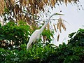 Garza en el patio de mi casa, Hatillo, Puerto Rico - panoramio (1).jpg