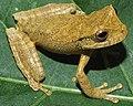 Gastrotheca pulchra IRDias 2014 (cropped).jpg