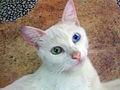 Gato-con-ojos-de-dos-colores.JPG