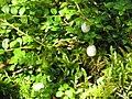 Gaultheria hispidula 3-eheep (5097306841).jpg