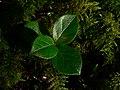 Gaultheria shallon 31976.JPG