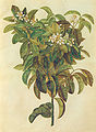 Gc8 citrus limonum.jpg