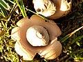Geastrum saccatum 102627876.jpg