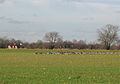 Geese grazing on winter grain shoots at Erwarton - geograph.org.uk - 661261.jpg