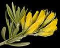 Genista linifolia - Flickr - Kevin Thiele.jpg
