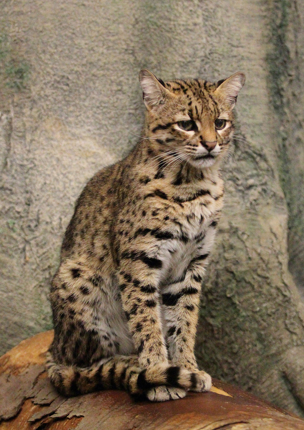 Geoffroy (cat): photo and description 28